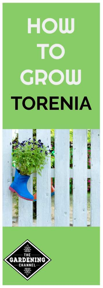torenia flower growing in boot container garden with text overlay how to grow torenia