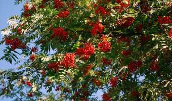 How to Grow a Rowan Tree (Mountain Ash)