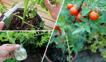 tomatos from cuttings