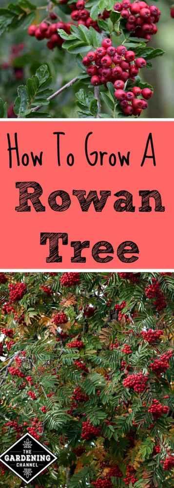 Learn how to grow a rowan tree or mountain ash, the tree of good luck