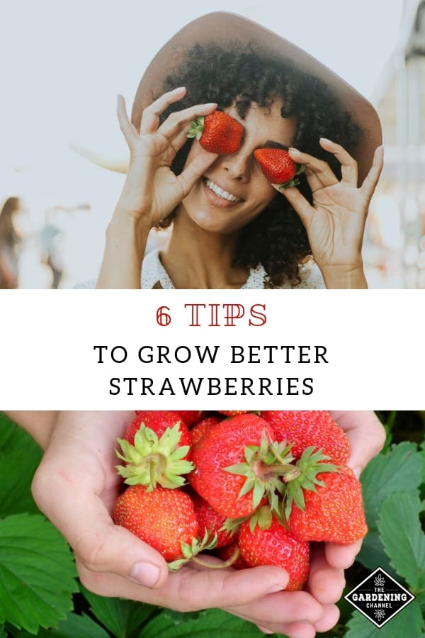woman holding fresh strawberries over eyes smiling fresh picked strawberries in hands with text overlay six tips to grow better strawberries