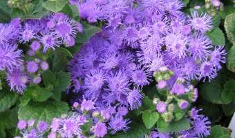 How to Grow Ageratum (Floss Flower)