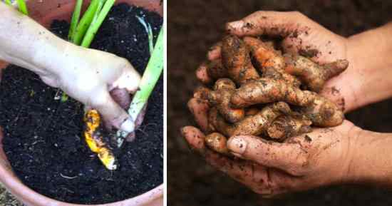 Learn to grow your own turmeric in containers