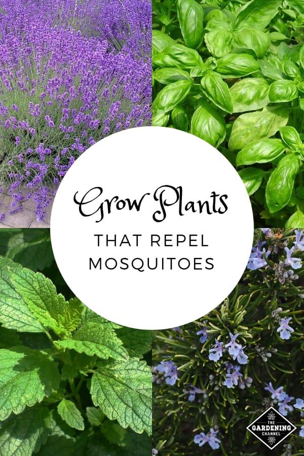 lavender basil lemon balm rosemary grow plants that repel mosquitoes