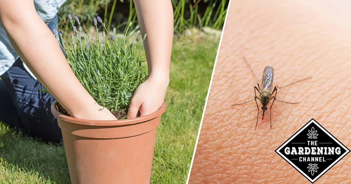 Repel Mosquitoes By Growing These Plants Gardening Channel