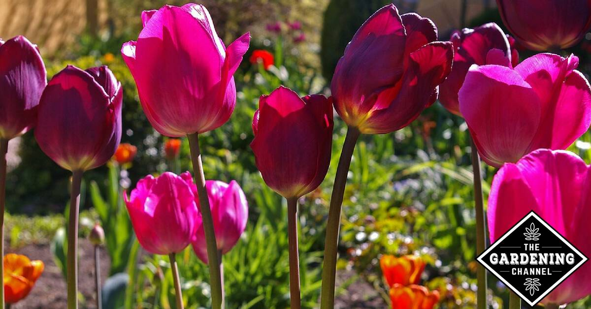 How To Get Your Tulips To Come Back Each Year Gardening Channel