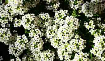 How to Grow Sweet Alyssum (Carpet Flower)