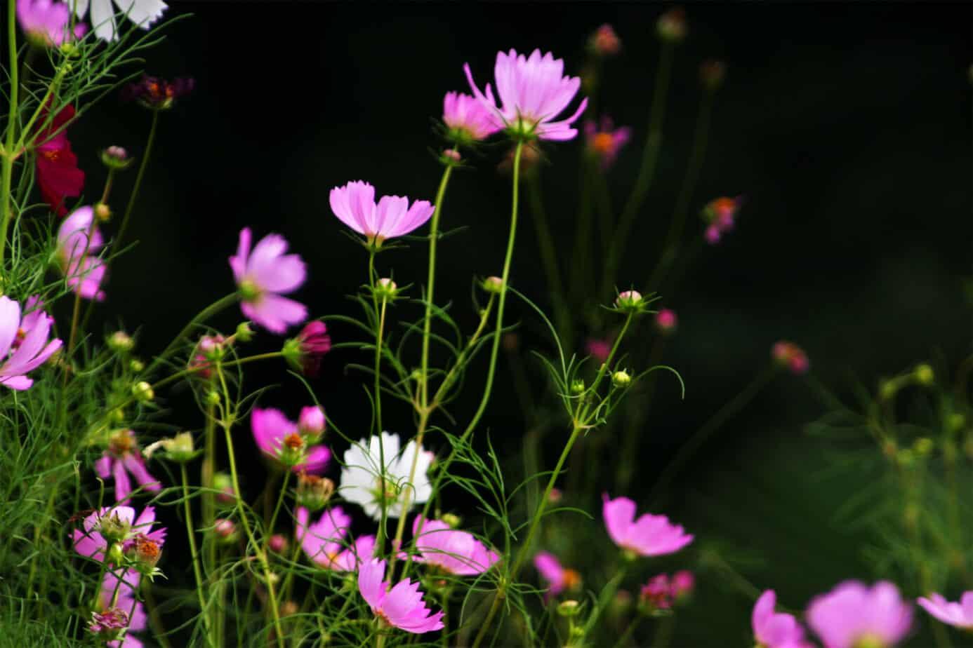 How to grow cosmos gardening channel izmirmasajfo