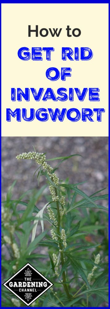 image of mugwort with text overlay how to get rid of invasive mugwort