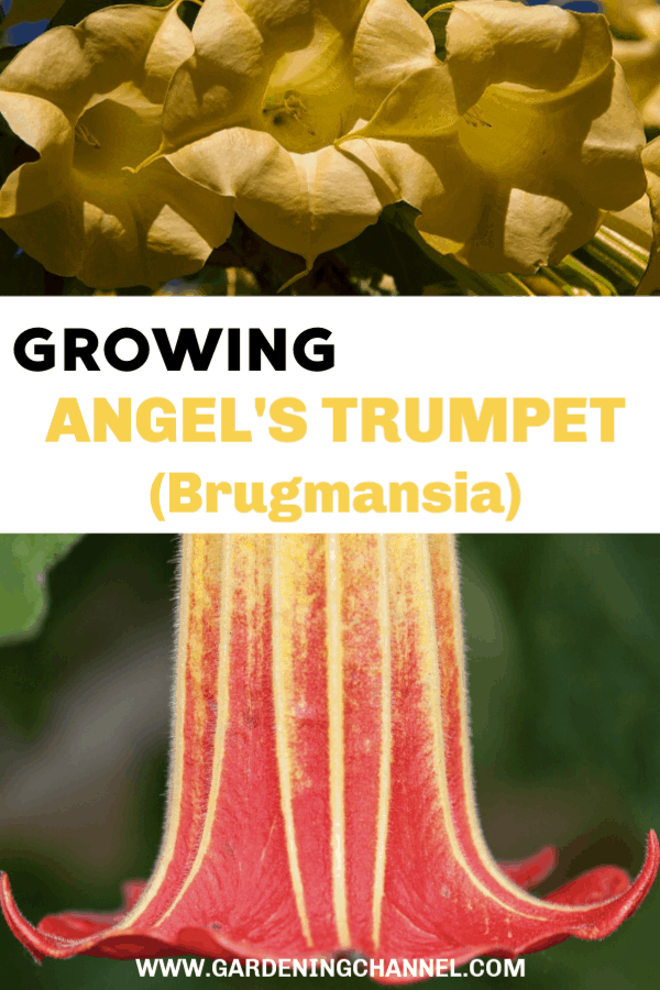 yellow angels trumpet and close up of angel trumpet bloom with text overlay growing angels trumpet brugmansia