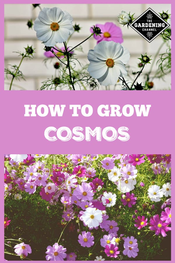 white pink and purple cosmos in flower gardens with text overlay how to grow cosmos