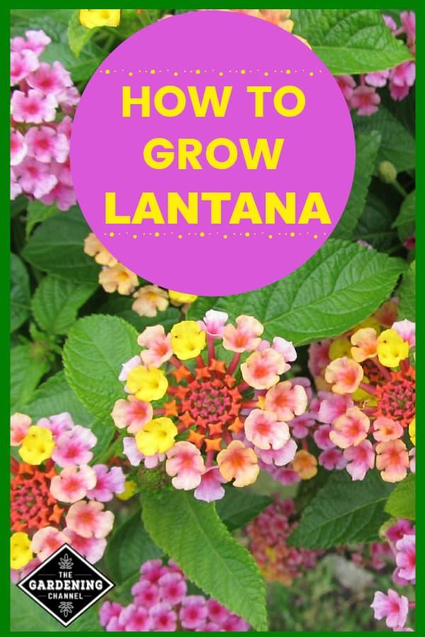 lantana closeup with text overlay how to grow lantana