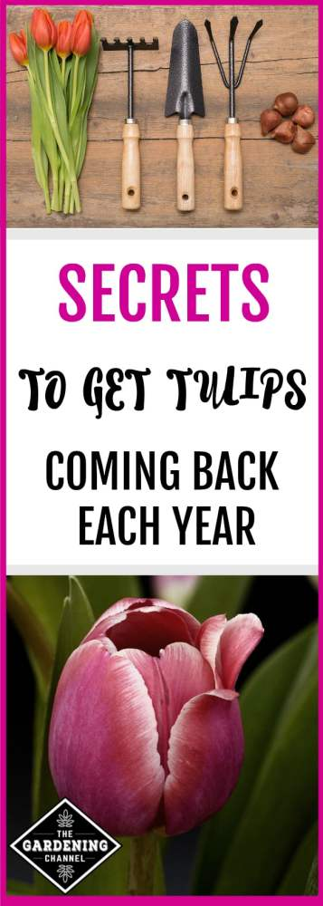 tulip gardening tools and close up of tulip flower with text overlay secrets to get tulips coming back each year