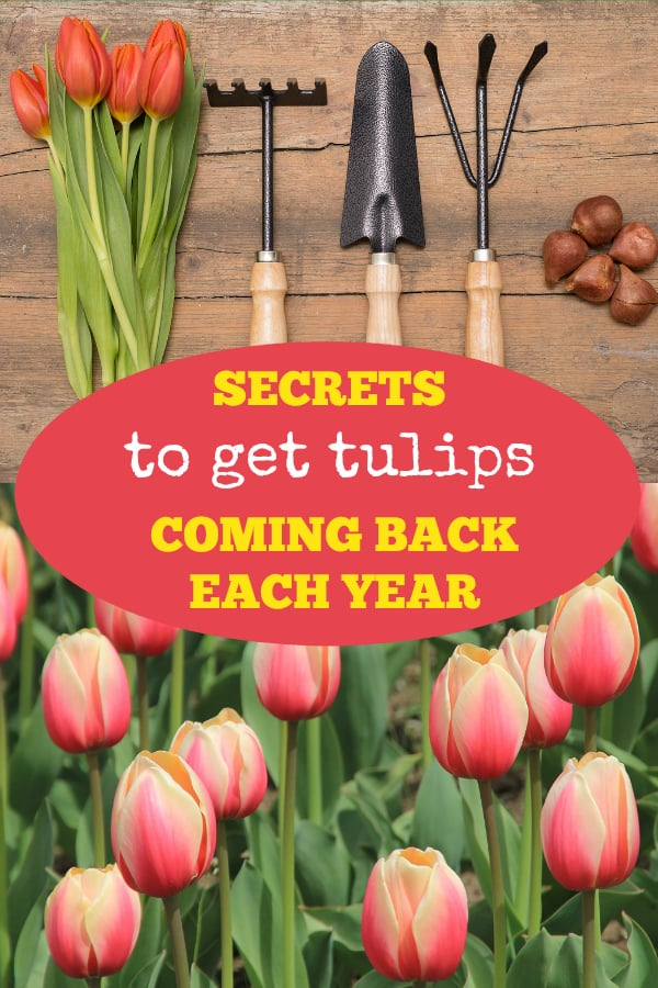 planting tulips and tulips in garden with text overlay secrets to get tulips coming back each year