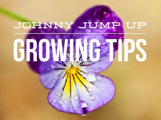 How to Grow Johnny Jump Ups