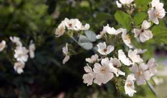 How to Get Rid of Invasive Multiflora Rose