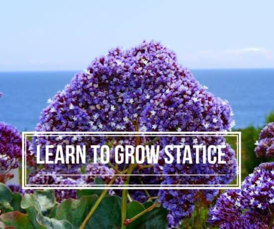 grow statice flowers