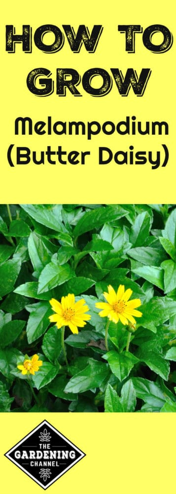 butter daisy in garden with text overlay how to grow melampodium butter daisy