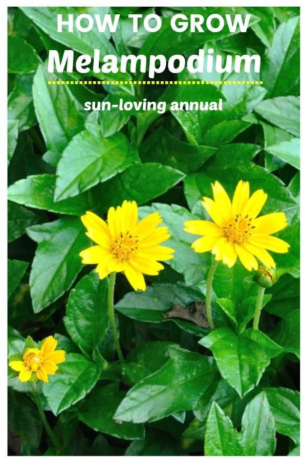 butter daisy with text overlay how to grow melampodium sun loving annual