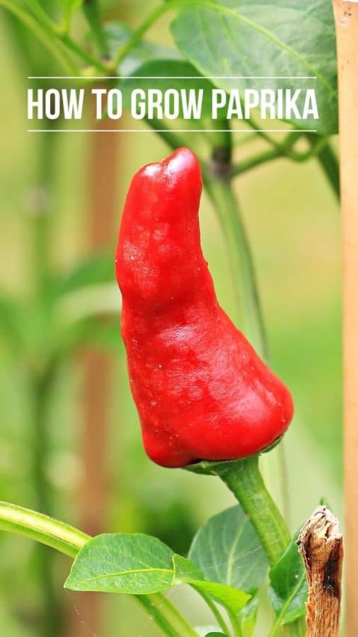 grow paprika peppers how to guide
