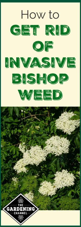 getting rid of bishop weed