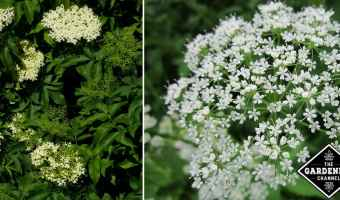 How to Get Rid of Invasive Bishop Weed (Goutweed)