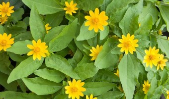 How to Grow Melampodium (Butter Daisy)