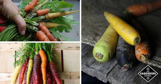 Rainbow Carrots Health Benefits by Color
