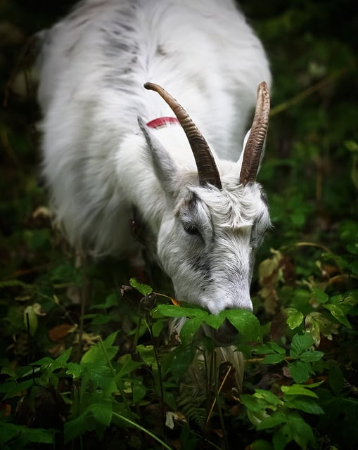 goat eating goutweed