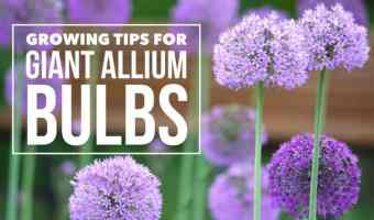 Want a Cool Flower, Grow Giant Alliums