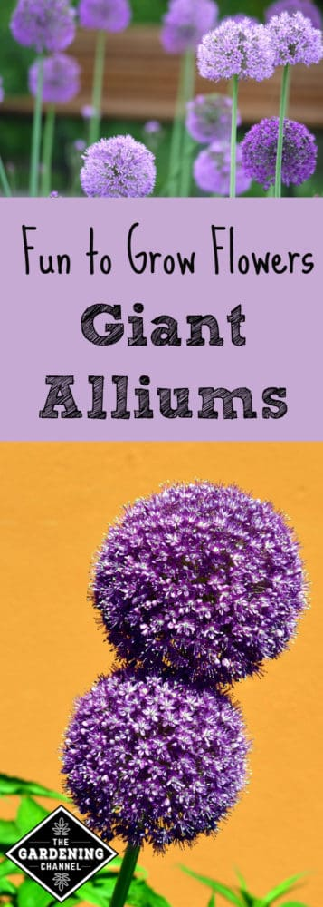 To add a delightful touch of whimsy to your flower garden this season, how about planting and growing giant alliums? They're a diverse group of ornamentals for your garden that seem to appear straight out of a Dr. Seuss book!