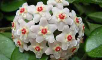 How to Grow Hoya (Wax Plant)