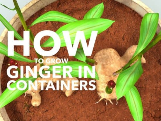 how to grow ginger in containers