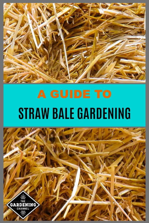 close up of straw in bale with text overlay a guide to straw bale gardening