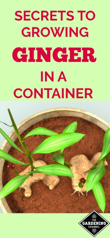 How to grow ginger in a container