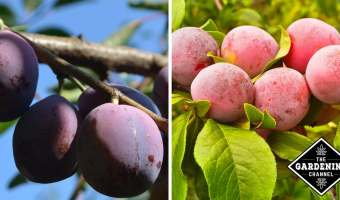 Growing Plum Trees