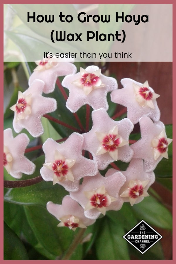 white hoya with text overlay how to grow hoya wax plant it's easier than you think