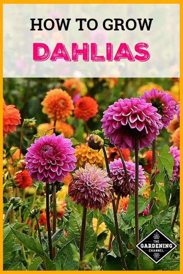 dahlias growing in flower garden with text overlay how to grow dahlias