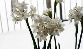 How to Grow Paperwhite Narcissus