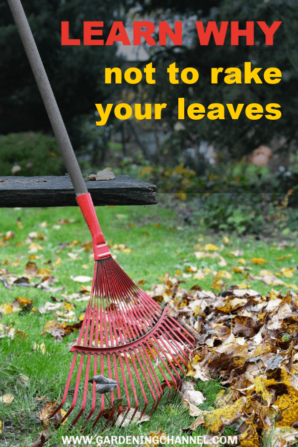 rake with fallen leaves with text overlay learn why not to rake your leaves