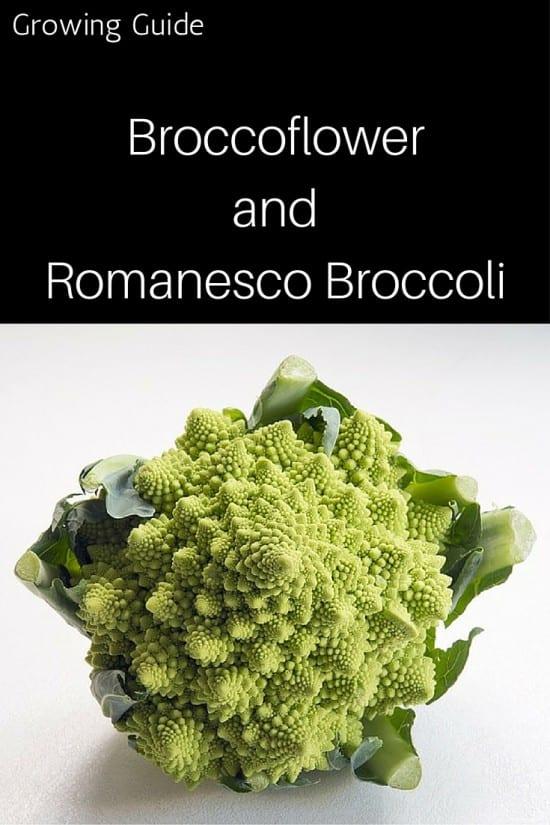How to Grow Broccoflower and Romansco Broccoli