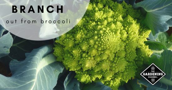 Growing Broccoli Alternatives