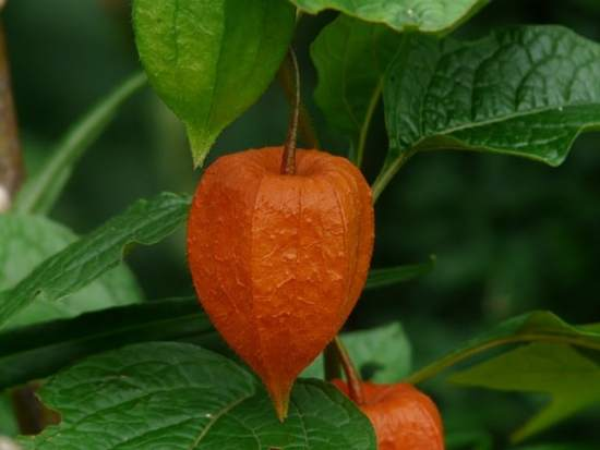 how to grow chinese lantern flower