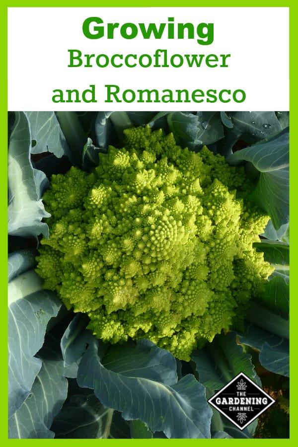 broccoflower growing in garden with text overlay how to grow broccoflower and romanesco