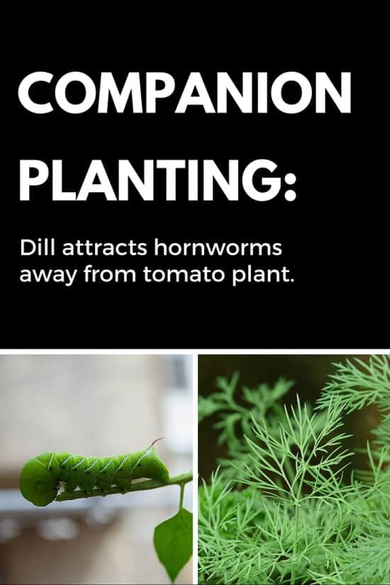Companion Planting: Plant Dill Around Tomatoes for Hornworn