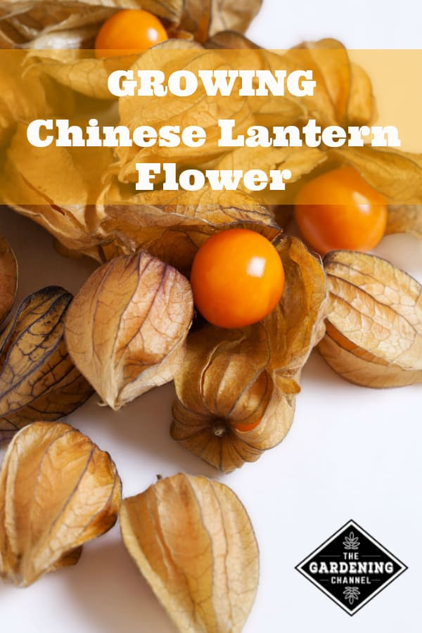 chinese lantern flowers with text overlay growing chinese lantern flowers