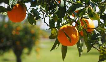 Human Antibiotics Sprayed on Orange Trees for Greening Disease: What this will mean for us?
