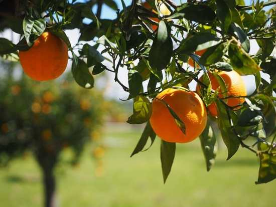 Treatment Options to Control Citrus Greening Disease