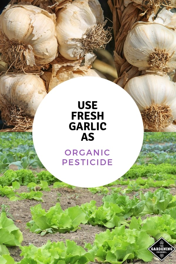 fresh garlic and salad garden with text overlay use fresh garlic as organic pesticide