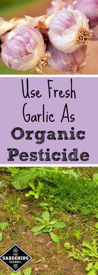 Use Fresh Garlic As An Organic Pesticide Gardening Channel